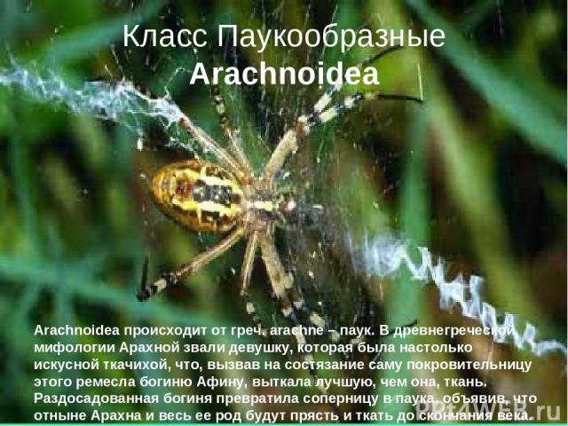 Класс Паукообразные Arachnoidea Arachnoidea происходит от греч. arachne – паук. В древнегреческой мифологии Арахной звали девушку, которая была настолько искусной ткачихой, что, вызвав на состязание саму покровительницу этого ремесла богиню Афину, в…