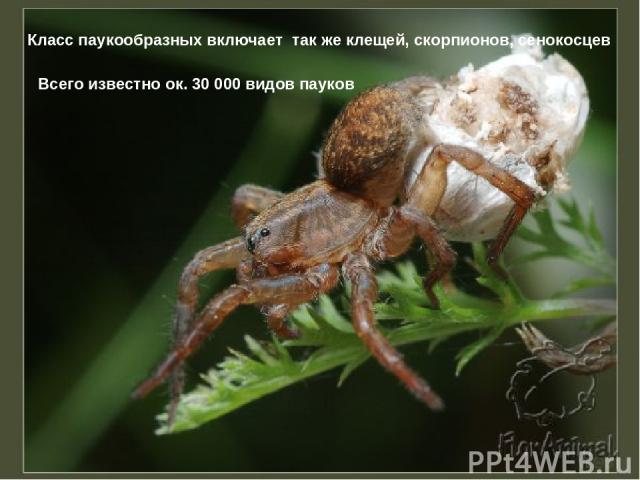 Класс паукообразных включает так же клещей, скорпионов, сенокосцев Всего известно ок. 30 000 видов пауков