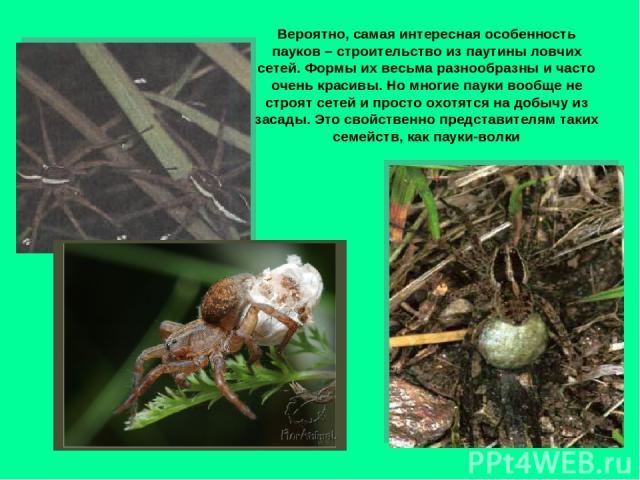 Вероятно, самая интересная особенность пауков – строительство из паутины ловчих сетей. Формы их весьма разнообразны и часто очень красивы. Но многие пауки вообще не строят сетей и просто охотятся на добычу из засады. Это свойственно представителям т…