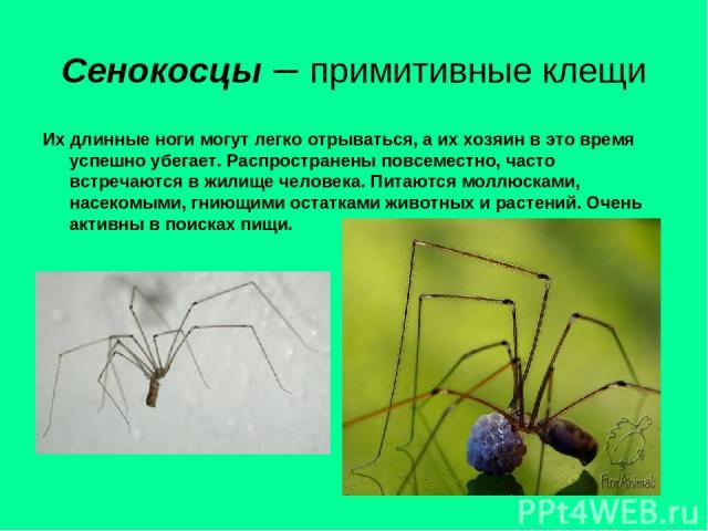 Сенокосцы – примитивные клещи Их длинные ноги могут легко отрываться, а их хозяин в это время успешно убегает. Распространены повсеместно, часто встречаются в жилище человека. Питаются моллюсками, насекомыми, гниющими остатками животных и растений. …