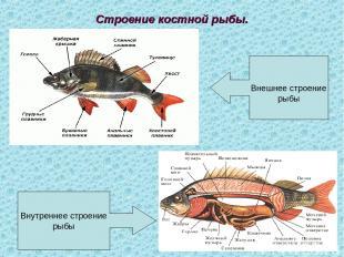 Строение костной рыбы. Внешнее строение рыбы Внутреннее строение рыбы