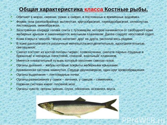 Общая характеристика класса Костные рыбы. Обитают в морях, океанах, реках и озёрах, в постоянных и временных водоёмах. Форма тела разнообразная: вытянутая, кругообразная, торпедообразная, сплюснутая, листовидная, змееобразная. Заострённая спереди го…