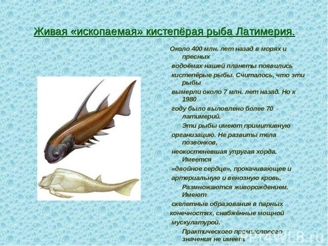 Живая «ископаемая» кистепёрая рыба Латимерия. Около 400 млн. лет назад в морях и пресных водоёмах нашей планеты появились кистепёрые рыбы. Считалось, что эти рыбы вымерли около 7 млн. лет назад. Но к 1980 году было выловлено более 70 латимерий. Эти …