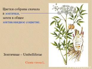 Зонтичные – Umbelliferae Цветки собраны сначала в зонтички, затем в общее зонтик