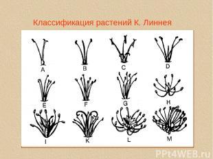 Классификация растений К. Линнея linne1a.tif