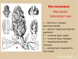 Магнолиевые Магнолия трехлепестная 1 — веточка с плодом-многолистовкой; 2 — цвет