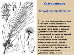 Казуариновые Казуарина прибрежная 1 — ветвь с мужскими соцветиями на концах асси