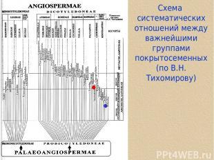 Cхема систематических отношений между важнейшими группами покрытосеменных (по В.
