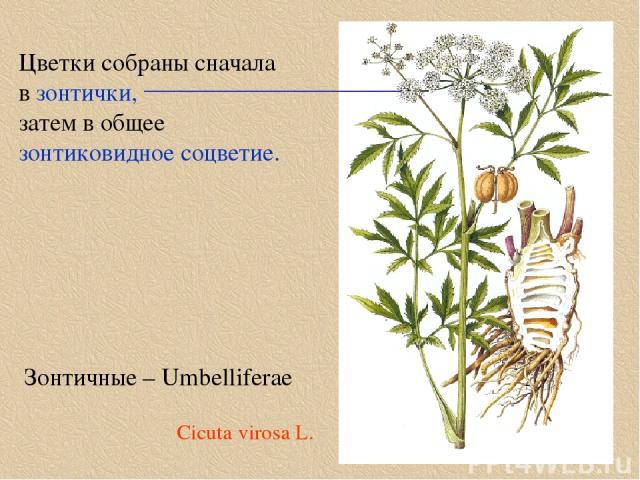 Зонтичные – Umbelliferae Цветки собраны сначала в зонтички, затем в общее зонтиковидное соцветие. Cicuta virosa L.