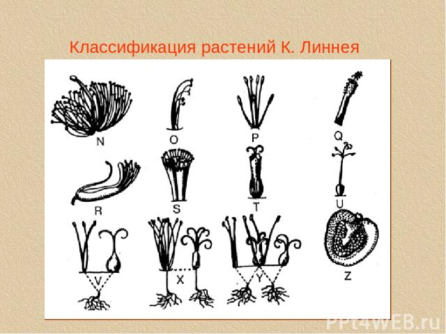 Классификация растений К. Линнея linne2a.tif