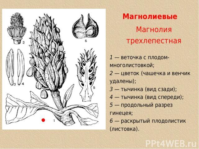 Магнолиевые Магнолия трехлепестная 1 — веточка с плодом-многолистовкой; 2 — цветок (чашечка и венчик удалены); 3 — тычинка (вид сзади); 4 — тычинка (вид спереди); 5 — продольный разрез гинецея; 6 — раскрытый плодолистик (листовка).