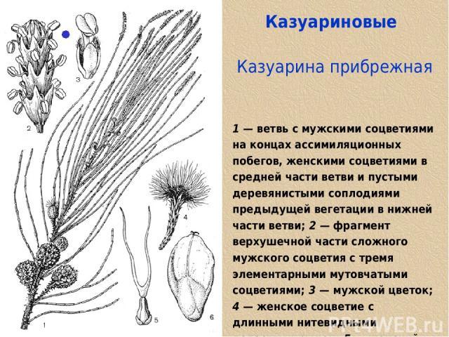 Казуариновые Казуарина прибрежная 1 — ветвь с мужскими соцветиями на концах ассимиляционных побегов, женскими соцветиями в средней части ветви и пустыми деревянистыми соплодиями предыдущей вегетации в нижней части ветви; 2 — фрагмент верхушечной час…