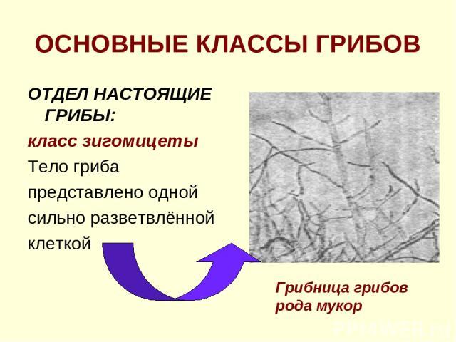 ОСНОВНЫЕ КЛАССЫ ГРИБОВ ОТДЕЛ НАСТОЯЩИЕ ГРИБЫ: класс зигомицеты Тело гриба представлено одной сильно разветвлённой клеткой Грибница грибов рода мукор