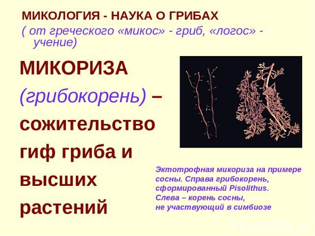 МИКОЛОГИЯ - НАУКА О ГРИБАХ ( от греческого «микос» - гриб, «логос» - учение) МИКОРИЗА (грибокорень) – сожительство гиф гриба и высших растений Эктотрофная микориза на примере сосны. Справа грибокорень, сформированный Pisolithus. Слева – корень сосны…