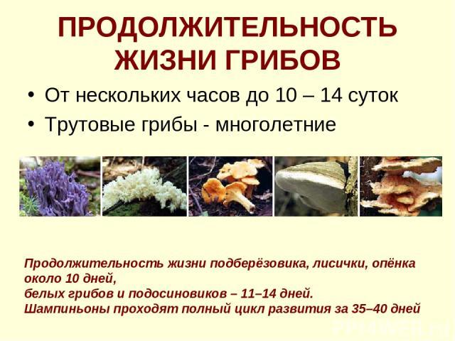 ПРОДОЛЖИТЕЛЬНОСТЬ ЖИЗНИ ГРИБОВ От нескольких часов до 10 – 14 суток Трутовые грибы - многолетние Продолжительность жизни подберёзовика, лисички, опёнка около 10 дней, белых грибов и подосиновиков – 11–14 дней. Шампиньоны проходят полный цикл развити…