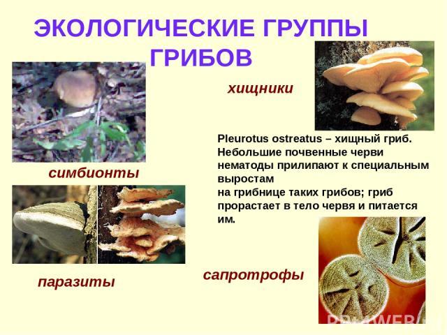 ЭКОЛОГИЧЕСКИЕ ГРУППЫ ГРИБОВ симбионты паразиты хищники Pleurotus ostreatus – хищный гриб. Небольшие почвенные черви нематоды прилипают к специальным выростам на грибнице таких грибов; гриб прорастает в тело червя и питается им. сапротрофы