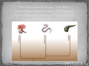Тип Кольчатые черви (Annelida). класс Многощетинковые (Polychaeta); класс Малоще