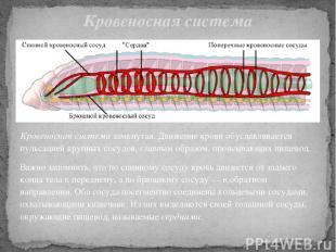 Кровеносная система замкнутая. Движение крови обуславливается пульсацией крупных
