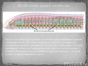 Органы выделения представлены посегментно расположенными парными метанефридиями.