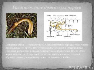 Дождевые черви — гермафродиты. Оплодотворение перекрестное. Черви прикладываются