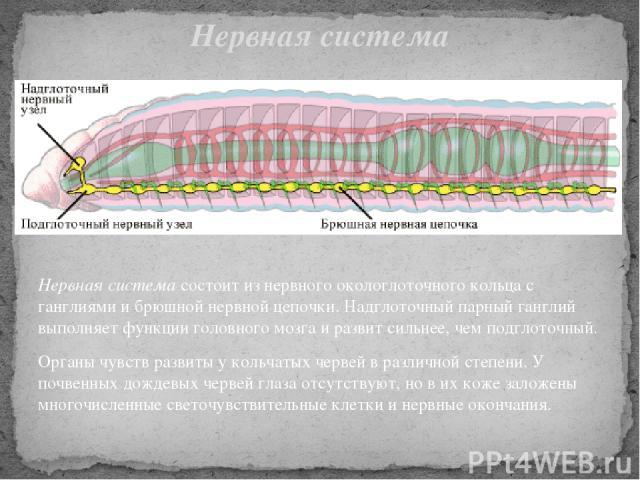 Нервная система состоит из нервного окологлоточного кольца с ганглиями и брюшной нервной цепочки. Надглоточный парный ганглий выполняет функции головного мозга и развит сильнее, чем подглоточный. Органы чувств развиты у кольчатых червей в различной …