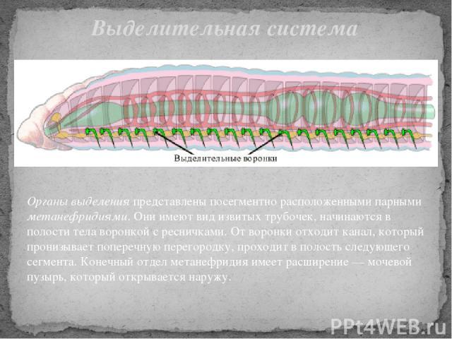 Органы выделения представлены посегментно расположенными парными метанефридиями. Они имеют вид извитых трубочек, начинаются в полости тела воронкой с ресничками. От воронки отходит канал, который пронизывает поперечную перегородку, проходит в полост…