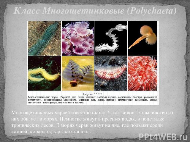 Многощетинковых червей известно около 7 тыс. видов. Большинство из них обитает в морях. Немногие живут в пресных водах, в подстилке тропических лесов. В морях черви живут на дне, где ползают среди камней, кораллов, зарываются в ил. Класс Многощетинк…