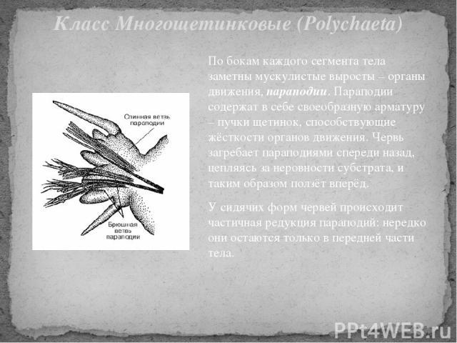 По бокам каждого сегмента тела заметны мускулистые выросты – органы движения, параподии. Параподии содержат в себе своеобразную арматуру – пучки щетинок, способствующие жёсткости органов движения. Червь загребает параподиями спереди назад, цепляясь …