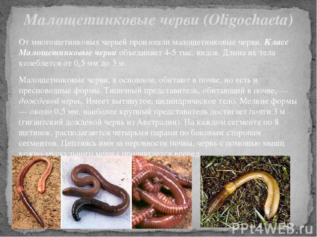 От многощетинковых червей произошли малощетинковые черви. Класс Малощетинковые черви объединяет 4-5 тыс. видов. Длина их тела колеблется от 0,5 мм до 3 м. Малощетинковые черви, в основном, обитают в почве, но есть и пресноводные формы. Типичный пред…