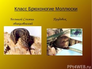 Класс Брюхоногие Моллюски Большой Слизень Прудовик обыкновенный