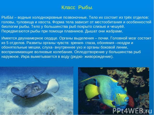 Класс Рыбы. РЫБЫ – водные холоднокровные позвоночные. Тело их состоит из трёх отделов: головы, туловища и хвоста. Форма тела зависит от местообитания и особенностей биологии рыбы. Тело у большинства рыб покрыто слизью и чешуёй. Передвигаются рыбы пр…