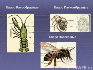 Класс Ракообразные Класс Паукообразные Класс Насекомые
