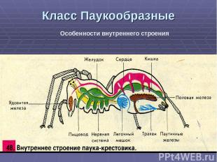 Класс Паукообразные Особенности внутреннего строения