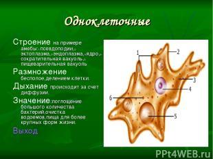 Одноклеточные Строение на примере амебы:1-псевдоподии,2-эктоплазма,3-эндоплазма,