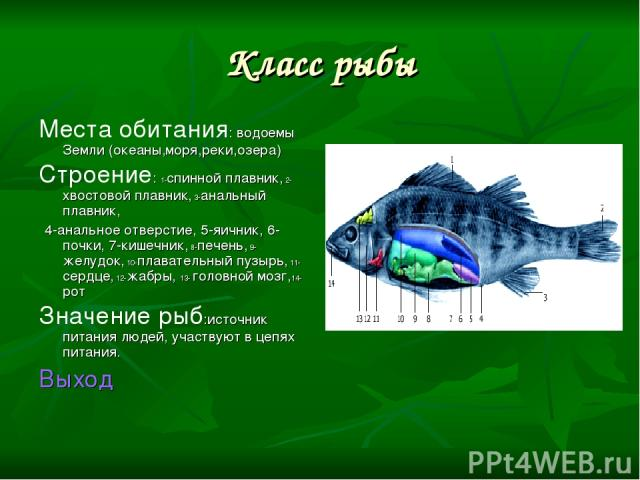 Класс рыбы Места обитания: водоемы Земли (океаны,моря,реки,озера) Строение: 1-спинной плавник, 2-хвостовой плавник, 3-анальный плавник, 4-анальное отверстие, 5-яичник, 6-почки, 7-кишечник, 8-печень, 9-желудок, 10-плавательный пузырь, 11-сердце, 12-ж…