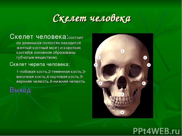Скелет человека Скелет человека:состоит из длинных(в полостях находится желтый костный мозг) и коротких костей(в основном образованы губчатым веществом). Скелет черепа человека: 1-лобовая кость,2-теменная кость,3-височная кость,4-скуловая кость,5-ве…