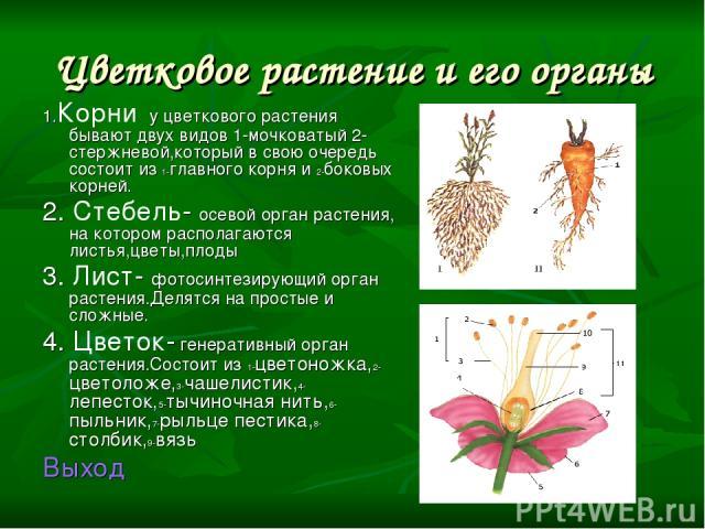 Цветковое растение и его органы 1.Корни у цветкового растения бывают двух видов 1-мочковатый 2-стержневой,который в свою очередь состоит из 1-главного корня и 2-боковых корней. 2. Стебель- осевой орган растения, на котором располагаются листья,цветы…
