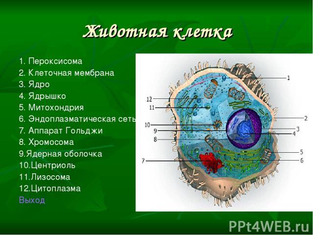 Животная клетка 1. Пероксисома 2. Клеточная мембрана 3. Ядро 4. Ядрышко 5. Митохондрия 6. Эндоплазматическая сеть 7. Аппарат Гольджи 8. Хромосома 9.Ядерная оболочка 10.Центриоль 11.Лизосома 12.Цитоплазма Выход