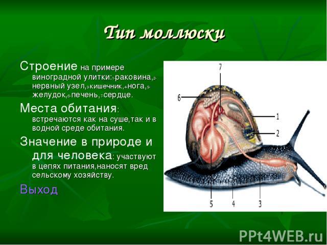 Тип моллюски Строение на примере виноградной улитки:1-раковина,2-нервный узел,3-кишечник,4-нога,5-желудок,6-печень,7-сердце. Места обитания: встречаются как на суше,так и в водной среде обитания. Значение в природе и для человека: участвуют в цепях …