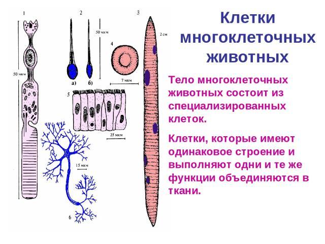 Клетки многоклеточных животных Тело многоклеточных животных состоит из специализированных клеток. Клетки, которые имеют одинаковое строение и выполняют одни и те же функции объединяются в ткани.