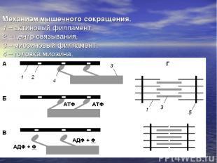 Механизм мышечного сокращения. 1 – актиновый филламент, 2 – центр связывания, 3