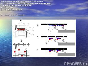 Механизм сопряжения возбуждения и сокращения. 1 – поперечная трубочка саркоплазм