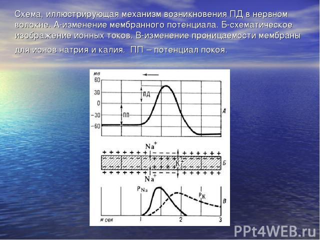 Схема, иллюстрирующая механизм возникновения ПД в нервном волокне. А-изменение мембранного потенциала. Б-схематическое изображение ионных токов. В-изменение проницаемости мембраны для ионов натрия и калия. ПП – потенциал покоя.