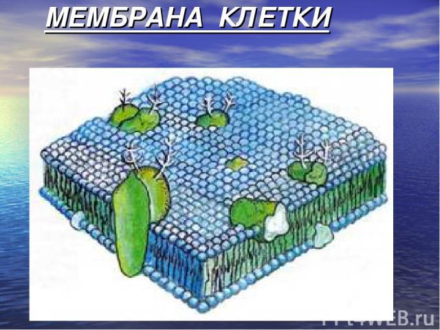 МЕМБРАНА КЛЕТКИ