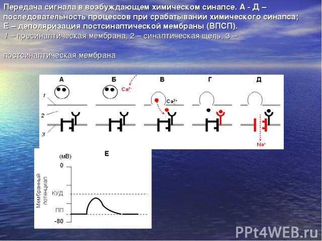 Передача сигнала в возбуждающем химическом синапсе. А - Д – последовательность процессов при срабатывании химического синапса; Е – деполяризация постсинаптической мембраны (ВПСП). 1 – пресинаптическая мембрана, 2 – синаптическая щель, 3 – постсинапт…
