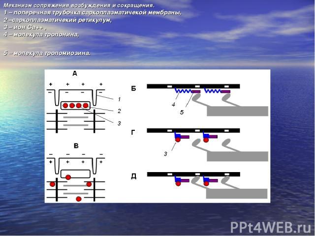 Механизм сопряжения возбуждения и сокращения. 1 – поперечная трубочка саркоплазматичекой мембраны, 2 –саркоплазматичекий ретикулум, 3 – ион Са++ , 4 – молекула тропонина, 5 – молекула тропомиозина.