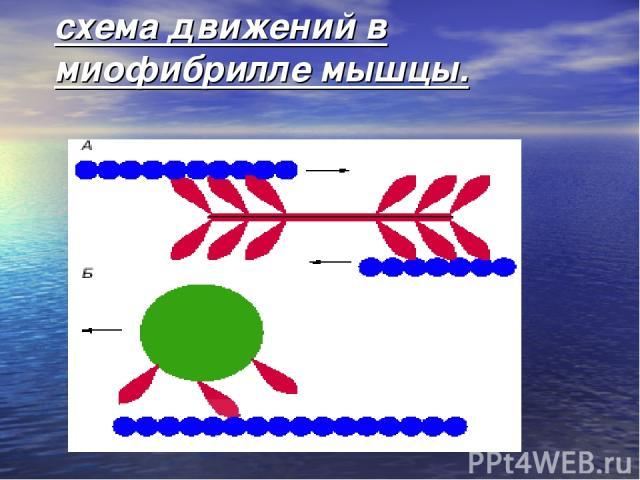 схема движений в миофибрилле мышцы.