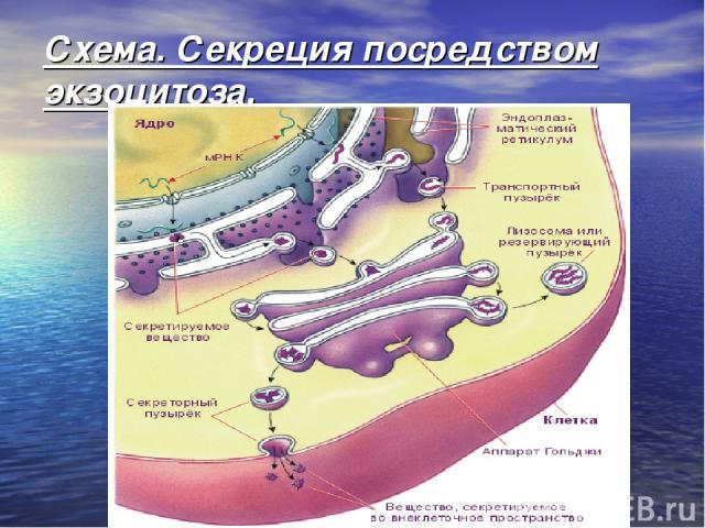 Схема. Секреция посредством экзоцитоза.