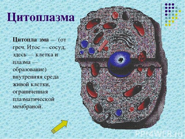 Цитоплазма Цитопла зма— (от греч. Итос— сосуд, здесь— клетка и плазма— образование) внутренняя среда живой клетки, ограниченная плазматической мембраной.