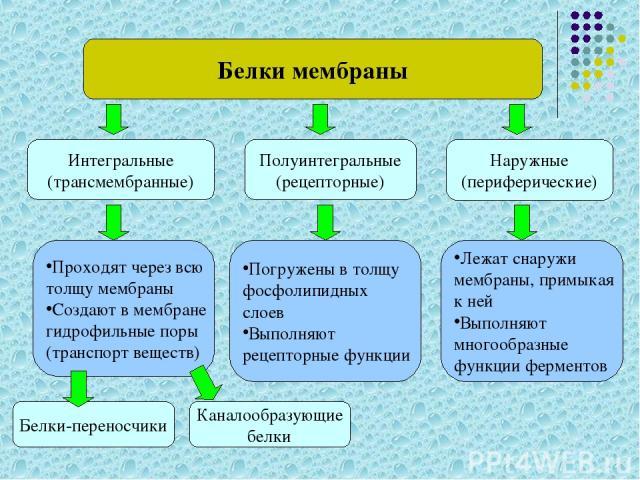 Белки мембраны Интегральные (трансмембранные) Наружные (периферические) Полуинтегральные (рецепторные) Проходят через всю толщу мембраны Создают в мембране гидрофильные поры (транспорт веществ) Погружены в толщу фосфолипидных слоев Выполняют рецепто…